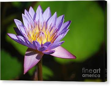 Single Purple Water Lily Number One Canvas Print by Heather Kirk