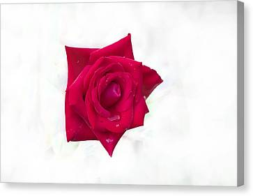 Single Red Rose Canvas Print by Judy Hall-Folde