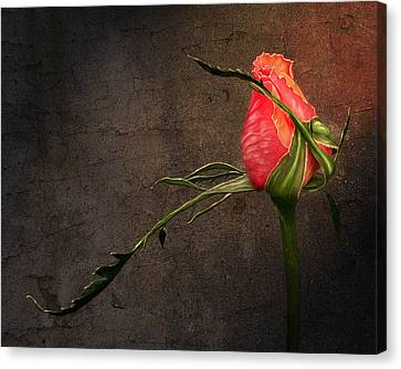 Single Rose Canvas Print by Ann Lauwers