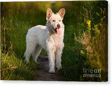 Single Small White Stray Dog In Meadow  Canvas Print by Arletta Cwalina