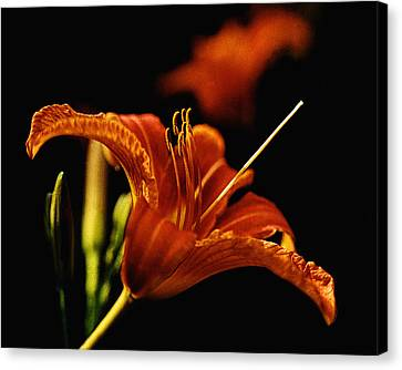 Single Tiger Lily Canvas Print