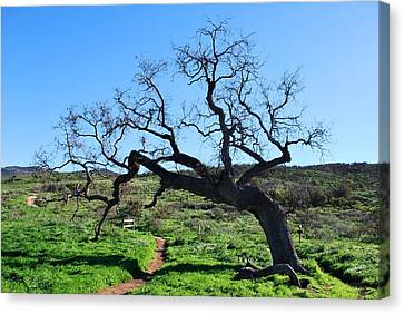Single Tree Over Narrow Path Canvas Print