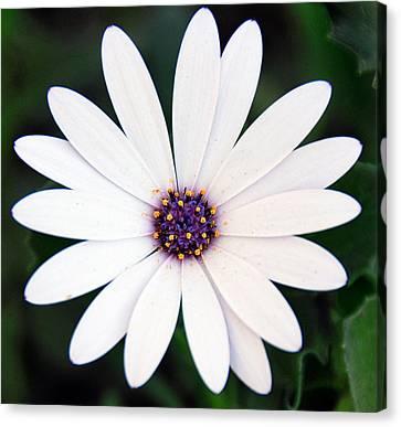 Single White Daisy Macro Canvas Print by Georgiana Romanovna