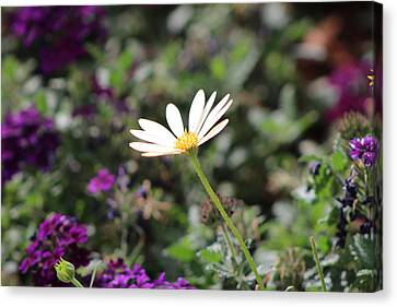 Single White Daisy On Purple Canvas Print by Colleen Cornelius