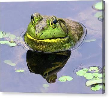 Sir Bull Frog Canvas Print