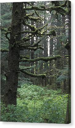 Sitka Spruce Forest At Fort Abercrombie Canvas Print by Rich Reid