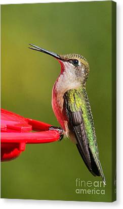 Canvas Print featuring the photograph Sitting Pretty by Debbie Stahre