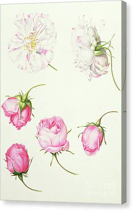 Six Heads Of Old Fashioned Roses Canvas Print by Nicolas Robert