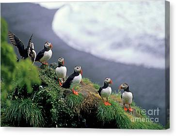 Six Puffins Perched On A Rock Canvas Print by Sami Sarkis