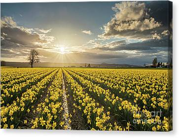 Canvas Print featuring the photograph Skagit Daffodils Bright Sunstar Dusk by Mike Reid