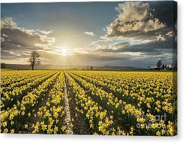 Skagit Daffodils Bright Sunstar Dusk Canvas Print