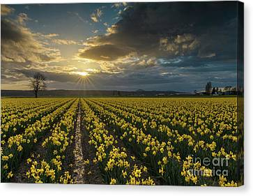 Canvas Print featuring the photograph Skagit Daffodils Golden Sunstar Evening by Mike Reid