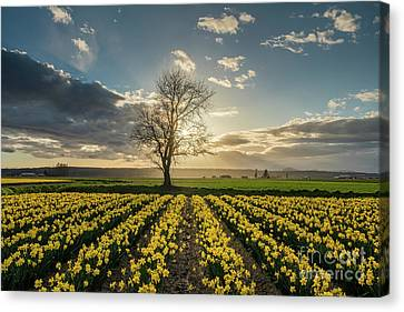 Canvas Print featuring the photograph Skagit Daffodils Lone Tree  by Mike Reid