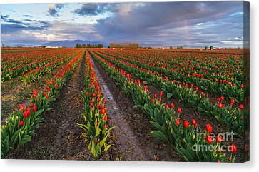 Skagit Tulip Fields Red Rows And Rainbow Canvas Print by Mike Reid