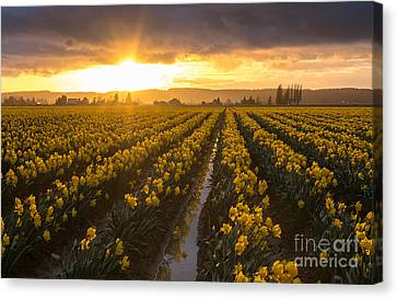 Daffodils Canvas Print - Skagit Valley Daffodils Golden Sunset Light by Mike Reid