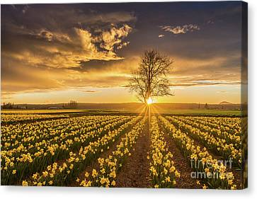 Canvas Print featuring the photograph Skagit Valley Daffodils Sunset by Mike Reid