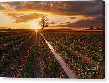 Skagit Valley Tulip Fields Golden Sunset Sunstar Canvas Print