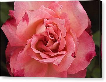 Skc 4942 The Pink Harmony Canvas Print