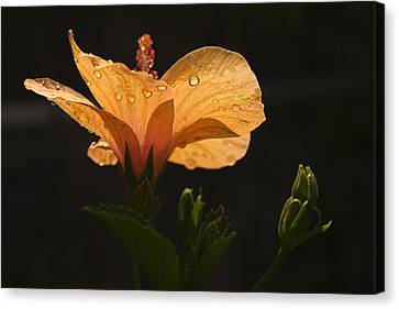 Skc 9937 The Grace Of Hibiscus Canvas Print by Sunil Kapadia