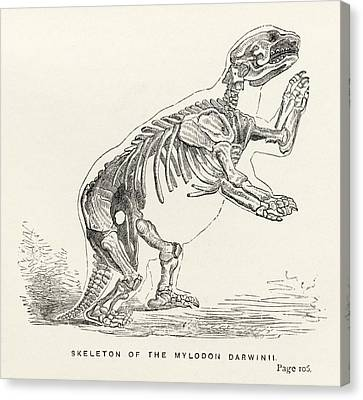 Skeleton Of Mylodon Darwinii From The Canvas Print by Vintage Design Pics