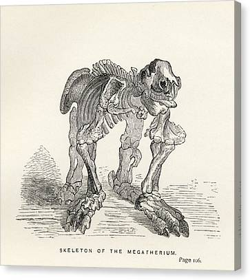 Skeleton Of The Megatherium From The Canvas Print by Vintage Design Pics