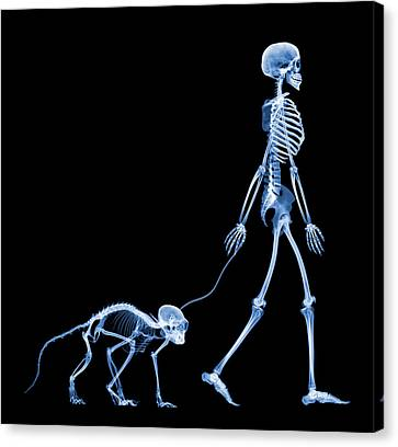 Skeleton Walking A Marmoset, X-ray Canvas Print by D. Roberts
