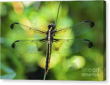 Juvenile Wall Decor Canvas Print - Skimmer Dragonfly by Mitch Shindelbower