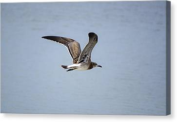 Skimming Seagull Canvas Print