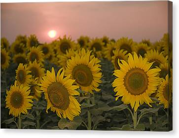 Skn 2178 The Sunflowers At Sunset  Canvas Print by Sunil Kapadia