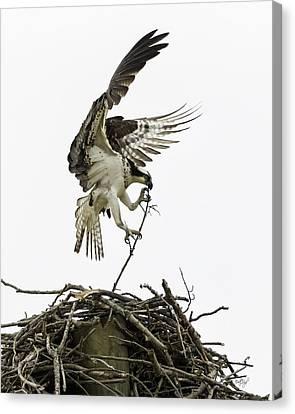 Osprey Canvas Print - Sky Ballet by Everet Regal