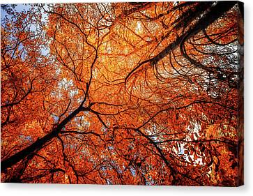 Sky Roots In Forest Red Canvas Print by John Williams