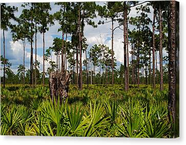 Slash Pine And Saw Palmetto Canvas Print by Steven Scott