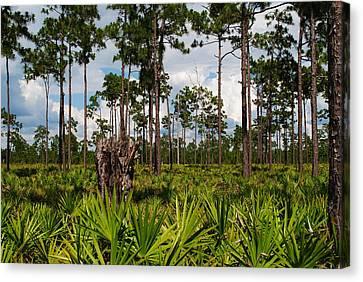 Slash Pine And Saw Palmetto Canvas Print by Steven Scott