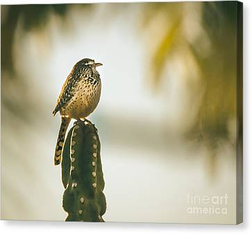 Sleeping Cactus Wren Canvas Print by Robert Bales