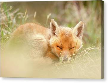 Innocence Canvas Print - Sleeping Cutie - Red Fox Kit Asleep by Roeselien Raimond
