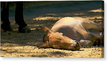 Canvas Print featuring the photograph Sleeping Horse by Louise Fahy