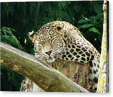 Sleeping Leopard Canvas Print by Nicola Butt