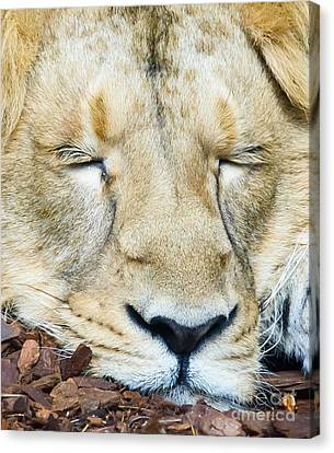 Canvas Print featuring the photograph Sleeping Lion by Colin Rayner