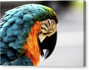 Sleeping Macaw Canvas Print by Dan Pearce
