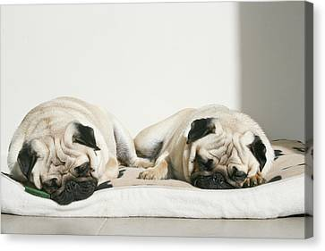 Sleeping Pug Dogs Canvas Print