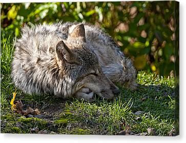 Sleeping Timber Wolf Canvas Print by Michael Cummings
