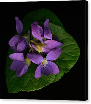 Sleeping Violets Canvas Print by Marsha Tudor