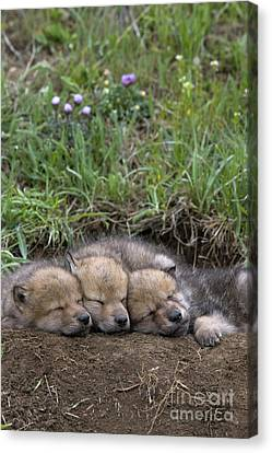 Sleeping Wolf Cubs Canvas Print by Jean-Louis Klein & Marie-Luce Hubert