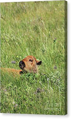 Canvas Print featuring the photograph Sleepy Calf by Alyce Taylor