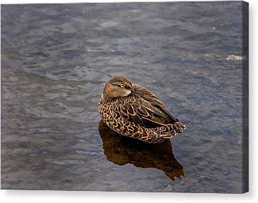Canvas Print featuring the photograph Sleepy Duck by Arthur Dodd