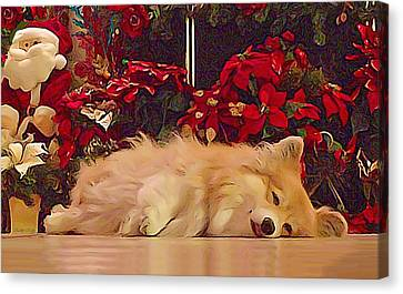Canvas Print featuring the photograph Sleepy Holiday Corgi Surrounded By Poinsettias. by Kathy Kelly