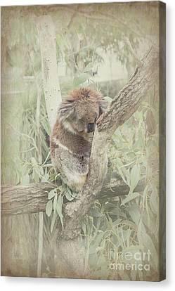 Sleepy Koala Canvas Print by Elaine Teague