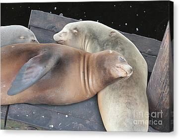 Sleepy Sea Lions Canvas Print by Carol Groenen