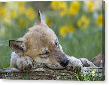 Sleepy Wolf Cub Canvas Print by Jean-Louis Klein & Marie-Luce Hubert