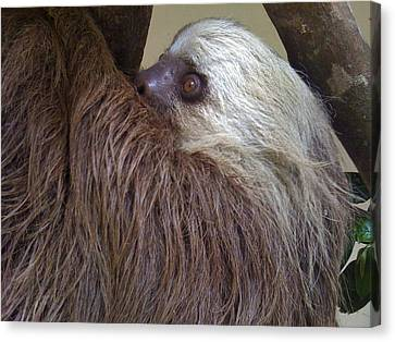 Sloth Canvas Print - Sloth by Dolly Sanchez
